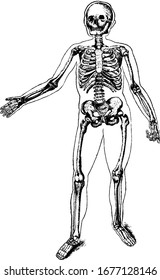 The human skeleton composed of around 270 bones at birth the internal framework of the body, vintage line drawing or engraving illustration.
