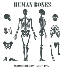 Human skeleton with different parts. Anatomy of human body, wrist and thorax, chest, finger and skull, jaw and pelvis. Skeleton didactic or anatomical body, biology and anatomy theme