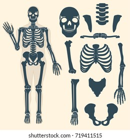 Human skeleton with different parts. Anatomy of human body, wrist and thorax, chest, finger and skull, jaw and pelvis. Skeleton didactic or anatomical body.