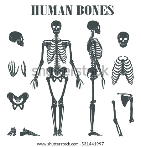 Human Skeleton Different Parts Anatomy Human Stock Vector Royalty