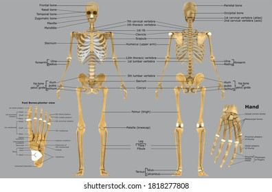 Human Skeleton Foot bones Anatomy For Medical Concept 3D Illustration