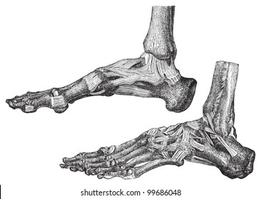 Human skeleton foot with bones and muscles / vintage illustration from Meyers Konversations-Lexikon 1897