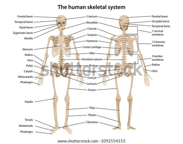 Human Skeleton Front Back Main Parts Stock Vector Royalty Free