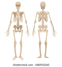 Human skeleton in front and back. Vector illustration