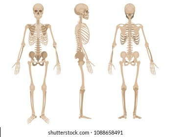 Human skeleton in front, profile and back. Vector illustration