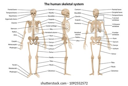 Human skeleton in front, profile and back with main parts labeled. Vector illustration