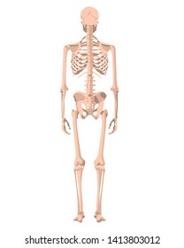 Human skeleton in front, profile and back. Vector illustration - Vector. Human anatomy. Back view.
