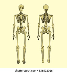 Human skeleton, front and rear view. Didactic board of anatomy of human bony system. Vector illustration. Main parts of the skeletal system.