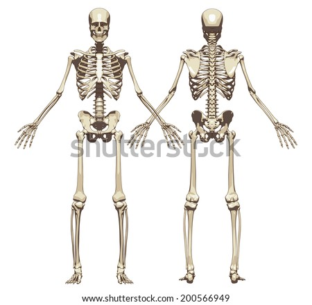 Human skeleton front rear view isolated stock vector 200566949 human skeleton front rear view isolated stock vector 200566949 shutterstock ccuart Image collections