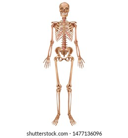 The human skeleton. Front view. Anatomy. Vector illustration isolated on a white background.