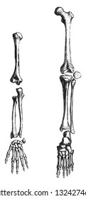 Human skeleton, limbs, vintage engraved illustration. from Zoology Elements from Paul Gervais.