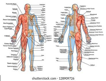 Human Skeleton Posterior Anterior View Didactic Stock Photo (Photo ...