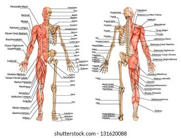 Naked muscle bone