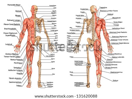 Human Skeleton Posterior Anterior View Didactic Stock Vector ...