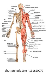 Human Skeleton From The Posterior View - didactic board of anatomy of human bony and muscular system