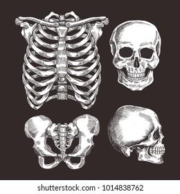 Human skeleton sketch set. Rib cage, skull. Vector illustration