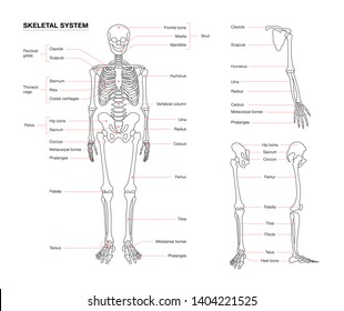 human skeleton system outline isolated on white background . Didactic board of anatomy of human bony system. Skeleton outline vector system