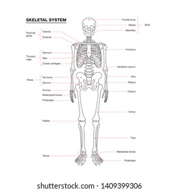 human skeleton system outline isolated on white background . Didactic board of anatomy of human bony system