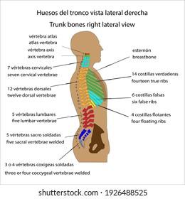Human skeleton trunk bones right side view