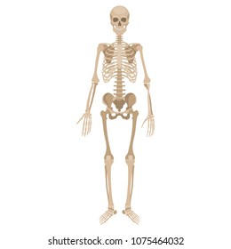Human skeleton. Vector illustration