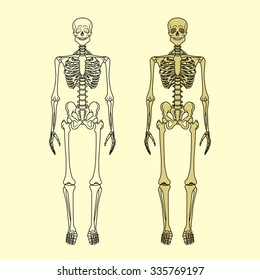 Human skeleton. Vector illustration. Anatomy of human bony system.