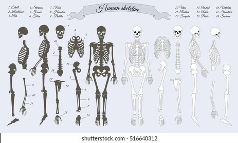 Human skeleton. White and black. Names of peple's bones. Skull, backbone, rib, stornum, femur, tibia, fibia, humerus, patella, ulna, radius, scapula, wrist, ankle, shoulder, sacrum, vertebra. Vector