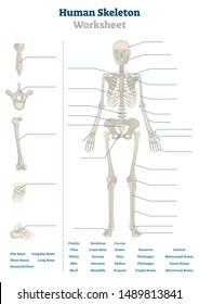 Human skeleton worksheet vector illustration. Blank educational bones scheme. Inner skeletal system practice lessons task template. Workbook topic material for school teachers anatomy or biology tests