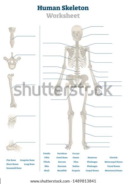 Human Skeleton Worksheet Vector Illustration Blank Stock ...