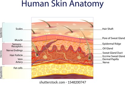 Human skin anatomy isolated on white background. Skin layers: epidermis, dermis, hypodermis under the microscope. Medical chart vector.
