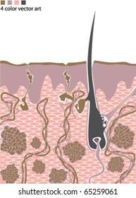 Human skin anatomy Vector 4 color artwork (no annotations)