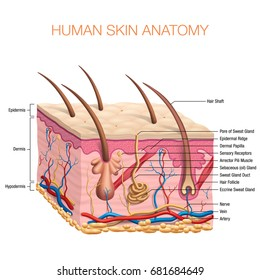 Human Skin Anatomy vector illustration isolated background