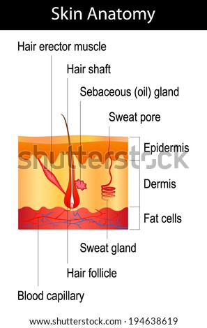 Human Skin Crosssection Hair Structure Diagram Stock Vector Royalty