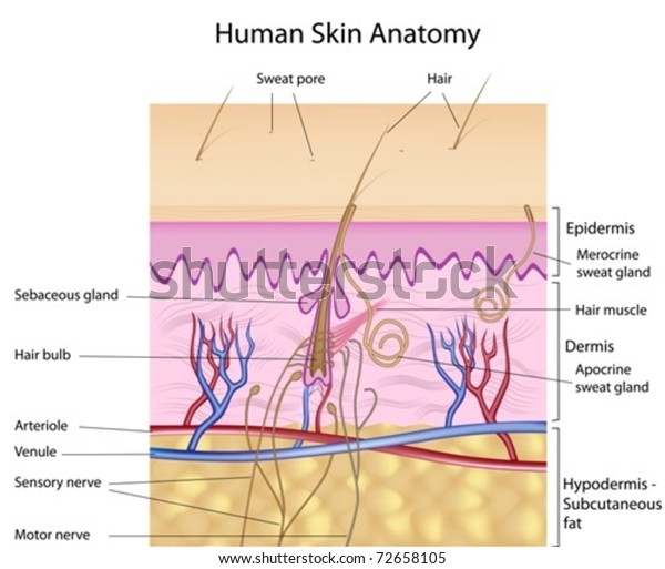 human skin cross-section, labeled