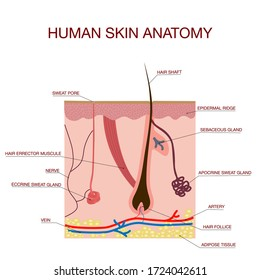 Human Skin Cross-Section vector illustration of the structure of the hair and hair follicle, sweat, and a sebaceous gland. Layered epidermis. Healthy skin anatomy. diagram for educational