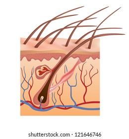 Human skin and hair structure.  Vector illustration.