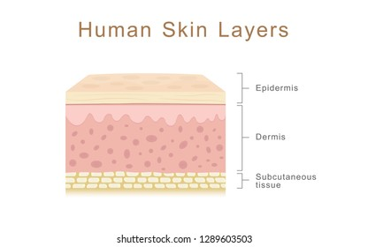 Human skin layers, healthcare and medical illustration about human skin