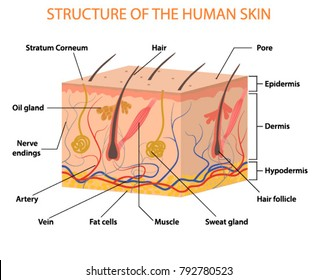 Human skin layers Vector illustration