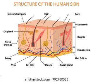Human skin layers Vector illustration
