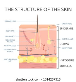 Human skin structure, epidermis anatomy. Vector scheme of skin, for cosmetological and healthcare illustrations. Vector illustration.