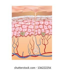 Human skin structure. Vector illustration of epidermis anatomy.