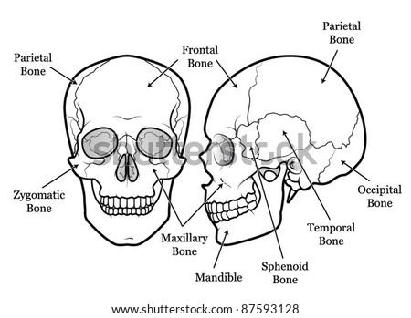 Human Skull Chart Stock Vector Royalty Free 87593128