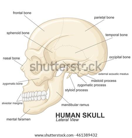 Human Skull Lateral View Explanation Stock-Vektorgrafik (Lizenzfrei ...