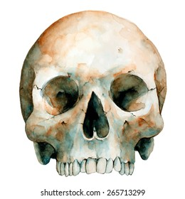 Human Skull On White Background, Watercolor Sketch, Vector Illustration.