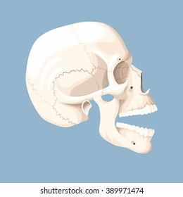 Human skull with open mouth