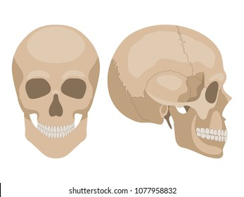 Human skull in profile and in full face. Vector illustration