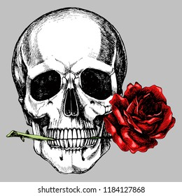 Human skull with a rose in the teeth. Hand-drawn vector anatomical illustration for your romantic or gothic design.