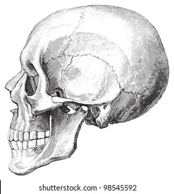 Human skull / vintage illustrations from Die Frau als Hausarztin 1911