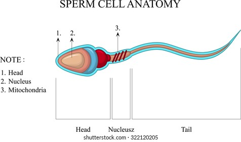 A Well Labelled Diagram Of Sperm Cell Block And Schematic Diagrams