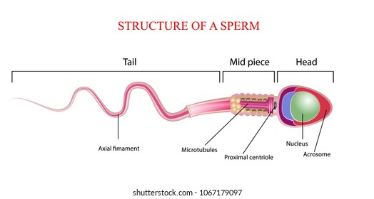 Human Sperm Cell Anatomy Structure Spermatozoon Stock Vector