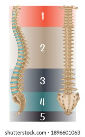 Human spine anatomy. Side and back views. Tutorial. Divided into departments. Vector illustration.